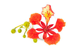 Closeup Pride of Barbados, Isolated on white Stock Image