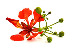 Closeup Pride of Barbados, Isolated on white stock photography
