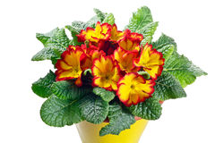 Closeup of primrose flowering plant Royalty Free Stock Images