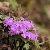 Closeup of Primula odontocalyx. Sichuan, China Stock Images