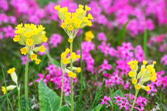 Closeup of Primula veris in garden Royalty Free Stock Images