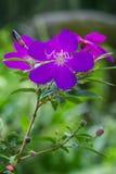 Closeup of a Princess flower (Tibouchina semidecandra) Stock Image