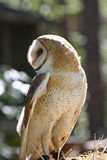 Closeup Profile of a Barn Owl Raptor. Or Bird of Prey Looking Over Shoulder Stock Photography