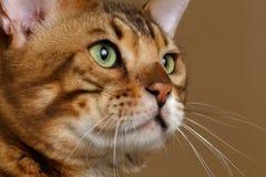 Closeup Profile Bengal Cat Royalty Free Stock Photos