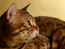 Closeup Profile Bengal Cat Royalty Free Stock Images