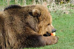 Brown bear feeding on apple Royalty Free Stock Photo