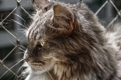 Maine coon cat closeup royalty free stock images