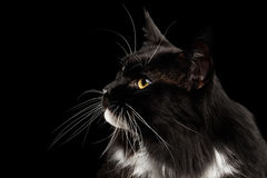 Closeup Profile Maine Coon Cat Looking up, Isolated Black Background Stock Photo