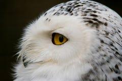 Portrait of a snowy owl. Closeup in profile portrait of a snowy owl. Bubo scandiacus Royalty Free Stock Photos