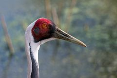 Portrait of a white-naped crane. stock photos