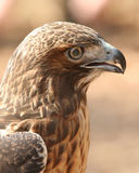 Closeup Profile of Red Tailed Hawk Royalty Free Stock Image