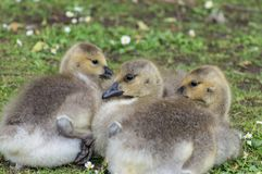 A closeup profile shot of canada geese goslings. royalty free stock images