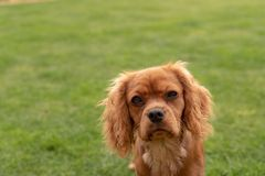 A closeup profile shot of a single isolated ruby Cavalier King Charles Spaniel stock image