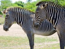Closeup profile shot of two zebra Royalty Free Stock Photography