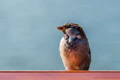 Closeup profile view of a common city sparrow Stock Image