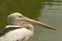 Closeup profile view of Pelican. Stock Image