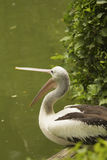 Closeup profile view of Pelican. Royalty Free Stock Photos