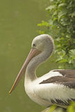 Closeup profile view of Pelican. Stock Photos
