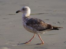 Closeup profile view of young Western Gull with second winter plumage walking on beach. A closeup profile view of a young Western Gull with second winter plumage Stock Image