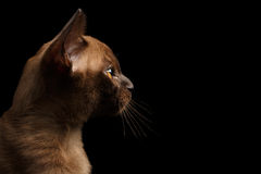 Closeup Profile of Young Burma Kitty on Isolated Black Background Royalty Free Stock Image