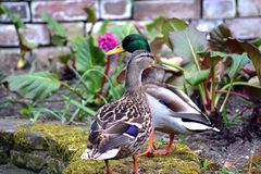 Closeup profiles of two ducks royalty free stock images