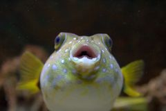CloseUp of a Puffer Fish Stock Image