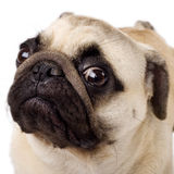 A closeup of a pug. Isolated on white Royalty Free Stock Images