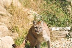 Puma Felis Concolor. Closeup of Puma Felis Concolor Royalty Free Stock Photography