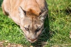 Puma Felis Concolor. Closeup of Puma Felis Concolor Royalty Free Stock Images