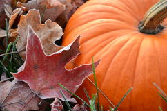 Closeup of Pumpkin with frosty leaf. Orange Pumpkin sitting in frosty leaves Royalty Free Stock Image