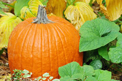 Closeup pumpkin with plants Royalty Free Stock Images