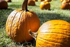 Closeup pumpkins in field. Two orange pumpkins in field Stock Photography