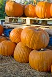 Pumpkins in a harvest patch royalty free stock image