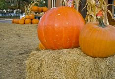 Pumpkins in a harvest patch royalty free stock photos
