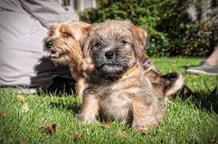 Closeup puppy Royalty Free Stock Images