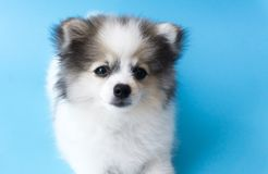 Closeup puppy pomeranian looking at something with light blue ba. Ckground, dog healthy concept, selective focus royalty free stock photography