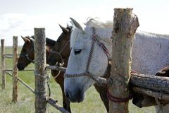 Closeup of pure breed Kazakhstan horses in a wooden case royalty free stock photography