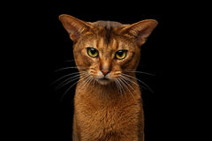 Closeup Purebred abyssinian cat portrait isolated on black background. Closeup head of grumpy abyssinian cat in front portrait gazing with angry face in camera stock photo
