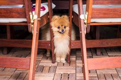Closeup purebred pomeranian spitz under the table Stock Photos