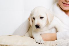 Closeup of purebred puppy on the hands of woman Stock Images