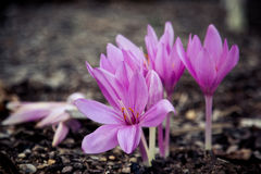 Closeup of purple autumn crocus Royalty Free Stock Images