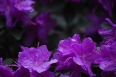 Closeup of Purple azaleas. Shows interior structure of flower, on a dark green leafy royalty free stock photo