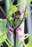 Closeup of purple bean blossoms climbing a pole.  Stock Images