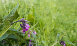 Closeup of a purple blooming Common Comfrey Royalty Free Stock Photography