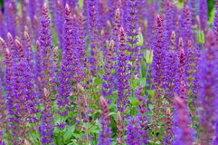 Closeup on purple and blue Lupinus (lupin, lupine) flowers Royalty Free Stock Photography