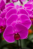Closeup purple butterfly orchids. In the garden Stock Photo