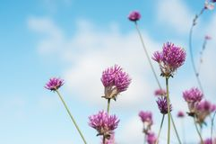 Purple chive flowers in a pubic garden. Closeup of purple chive flowers in a pubic garden royalty free stock photos