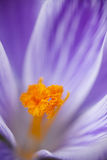 Closeup of purple crocus Royalty Free Stock Photo
