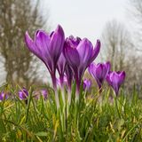 Purple crocus closeup low perspective Stock Photography