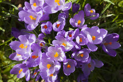 Closeup of purple crocusses seen from above Stock Photo